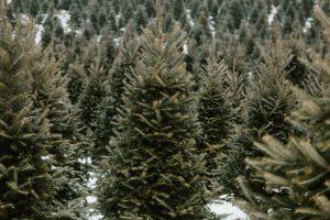 Jakie drzewko wybrać na Święta?